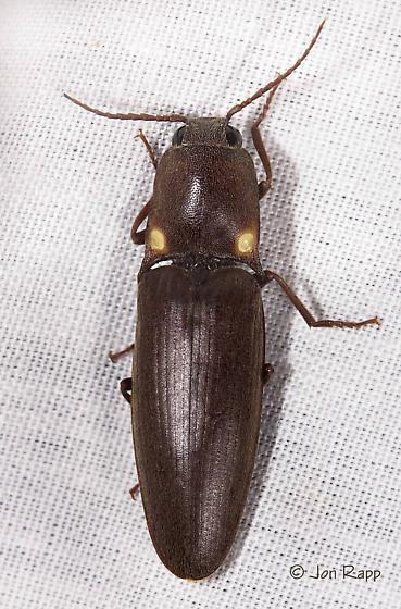 Bioluminescent Click Beetle - Vesperelater arizonicus
