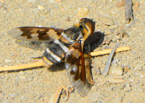 Orange County Bee Fly Archives #142 - California Costal Form - Exoprosopa fascipennis