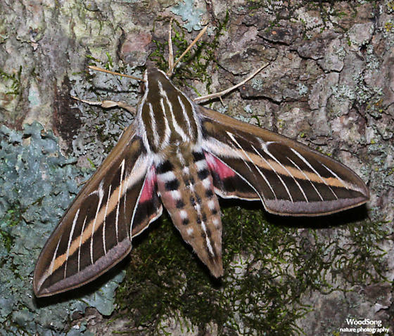 Hyles lineata - White-lined Sphinx - Hodges#7894 - Hyles lineata