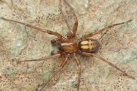 Callobius - Callobius pictus - male