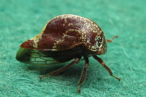 Treehopper - Carynota marmorata