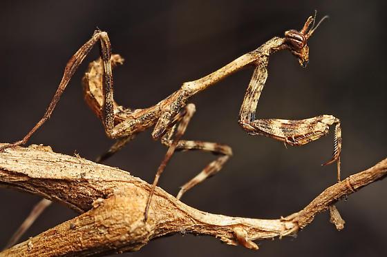 Arizona Unicorn Mantis Nymph (Pseudovates   Arizonae) - Pseudovates arizonae