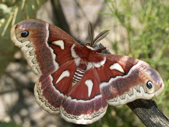Hyalophora, but  which one? - Hyalophora columbia