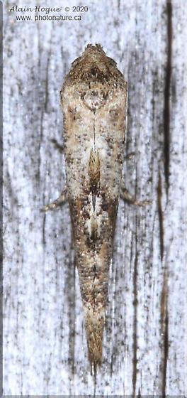 Epermenia albapunctella - Epermenia