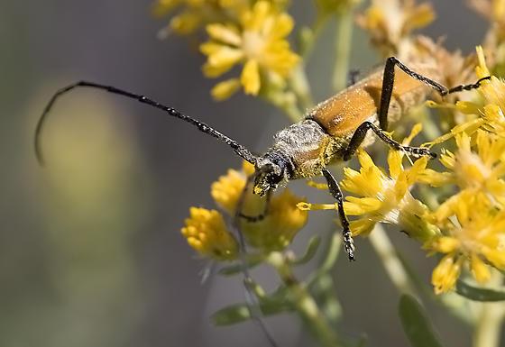 Longhorned Beetle - Crossidius suturalis - male