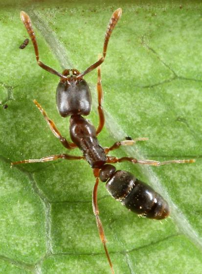 Ant - Hypoponera opaciceps