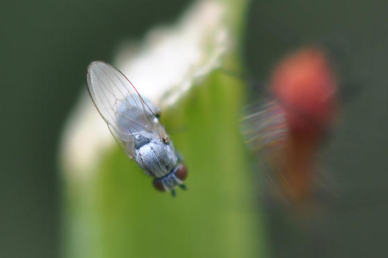 What is this tiny blue insect?