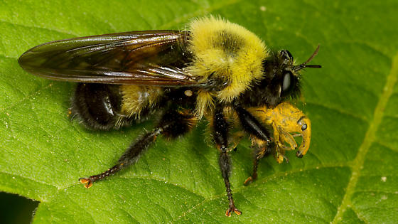 Is this Laphria thoracica ? - Laphria thoracica