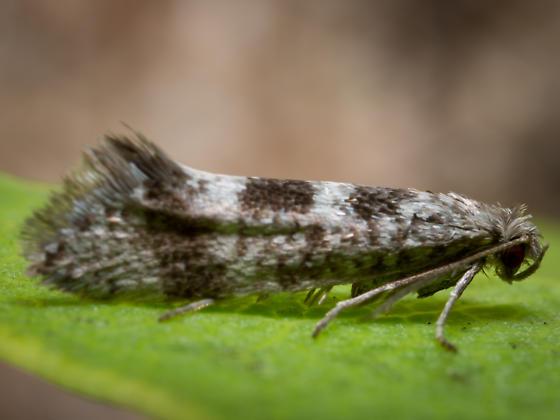 Moth - Tridentaforma