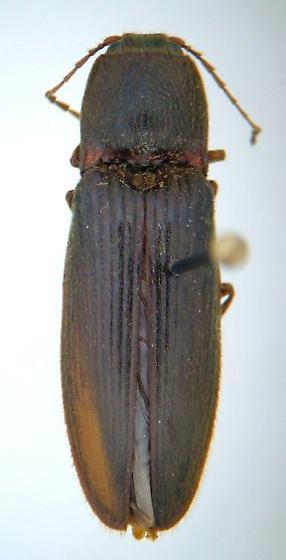 Hemicrepidius memnonius - male