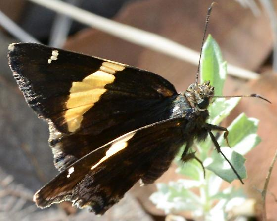Dark Butterfly - Autochton cellus