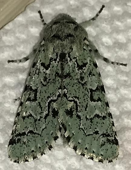 Species Feralia major - Major Sallow  - Feralia major