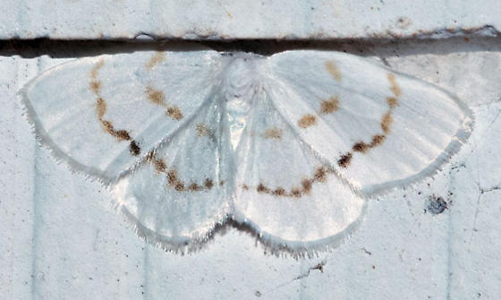 white geo moth - Eudeilinia herminiata