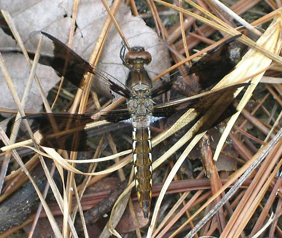 Common Whitetail Immature Male - Plathemis lydia - male