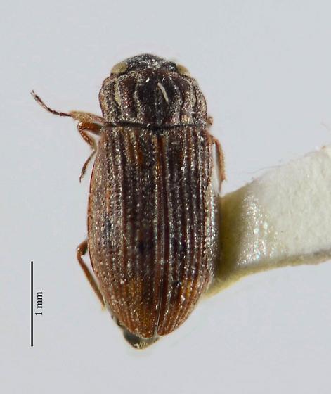 Hydrochus? - Helophorus