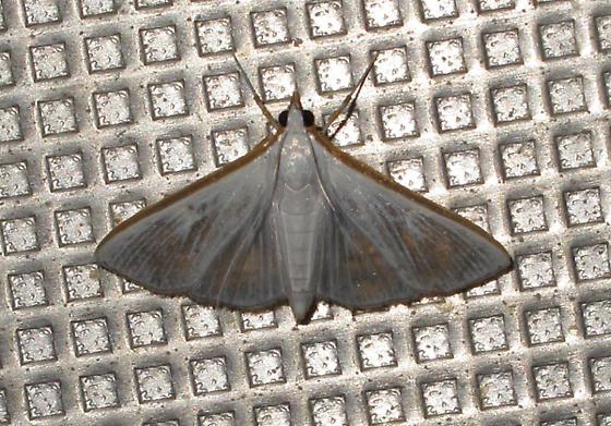 Gray and orange moth - Diaphania costata