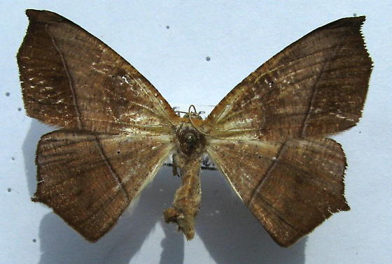 Curve-toothed Geometer - Prochoerodes lineola