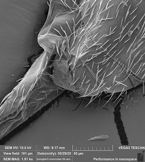 Entomobryomorpha 6 - Desoria
