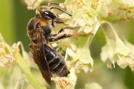 Andrena alleghaniensis? - Andrena alleghaniensis - female