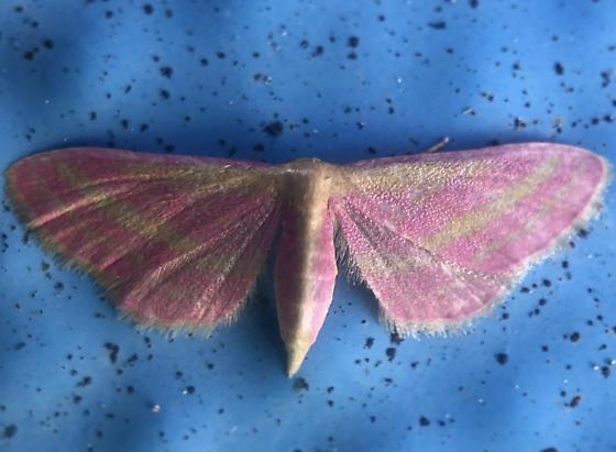 Unknown pink moth.  - Leptostales laevitaria