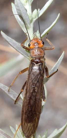 Hesperoperla pacifica - Golden Stonefly - Hesperoperla pacifica