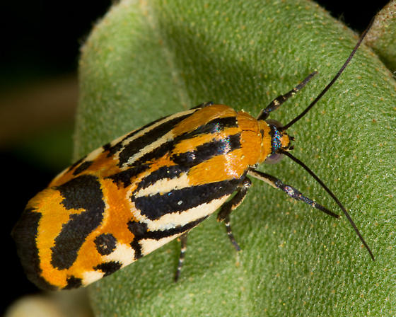 Black-dotted Spragueia Moth - Spragueia onagrus