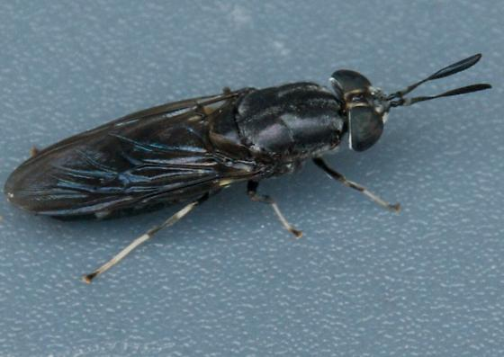 Black Soldier Fly - Hermetia illucens? - Hermetia illucens