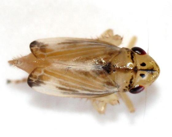 Evacanthus - Evacanthus nigramericanus - female