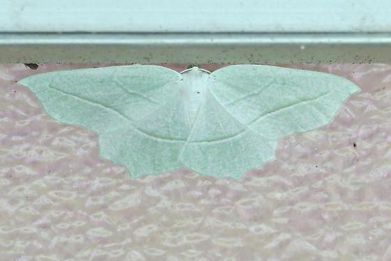 Pale Beauty (Campaea perlata) Hodges #6796 - Campaea perlata