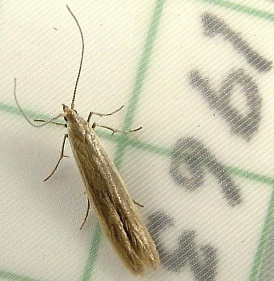 2135a Coleophora glaucicolella 1378 - Coleophora glaucicolella