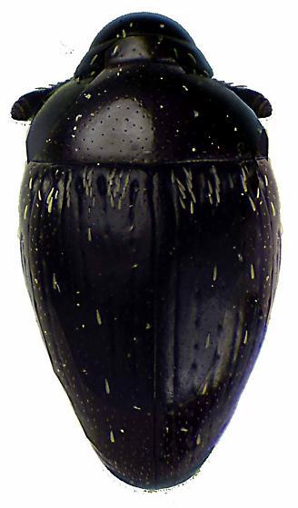 Oomorphidius laevicollis (LeConte) - Oomorphidius laevicollis