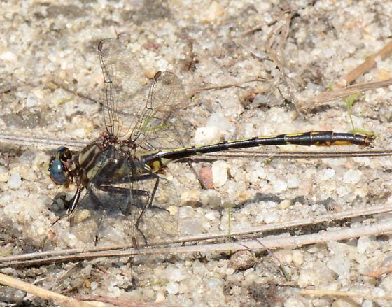 Diminutive Clubtail - Phanogomphus diminutus - male