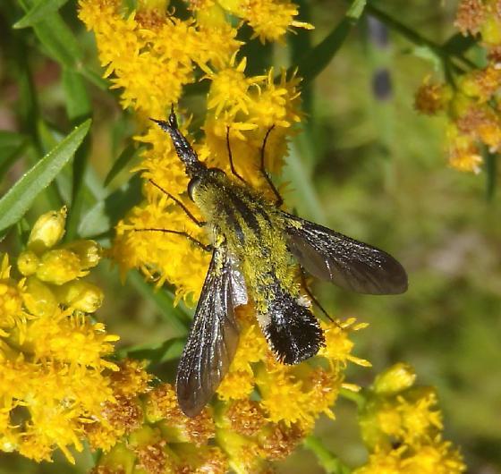Lepidophora lutea ? - Lepidophora lutea
