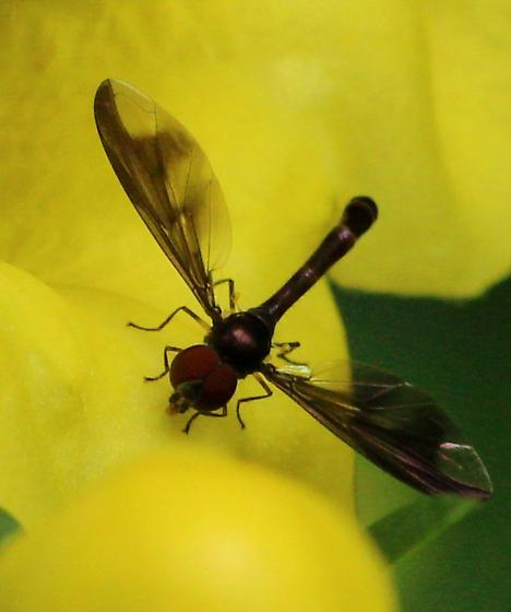 small flying insect w large red eyes and narrow abdomen - Ocyptamus fuscipennis - male