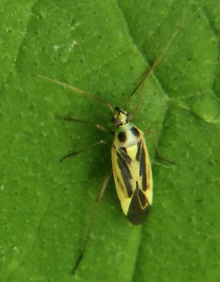 Plant bug? - Stenotus binotatus