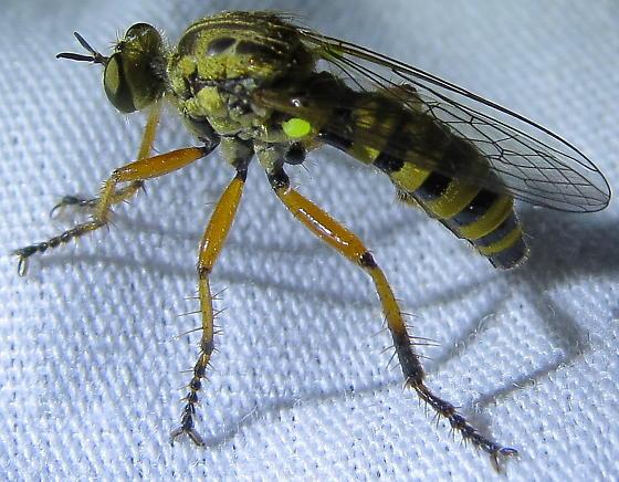 Callinicus pictitarsis - female