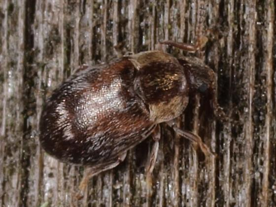 Wooly Beetle - Xerasia grisescens