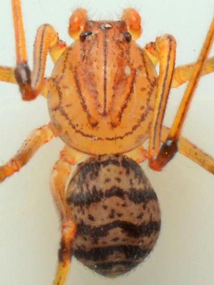 Scytodes - Scytodes lugubris - male