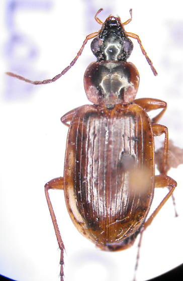 Agonum anchomenoides