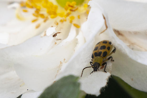 Spotted Cucumber Beetle?