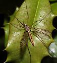 Tipula sp.?