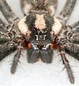 Spider BG450 - Agelenopsis naevia