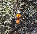 Bee type bug - Enoclerus ichneumoneus