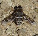 Cal Gulch bee fly 1 - Exoprosopa butleri