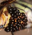 larval parasitic water mites - Arrenurus