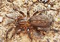 Six-eyed spider - Blabomma - female