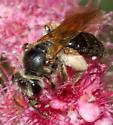 Bee on spiraea - Andrena crataegi - female