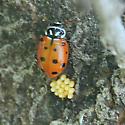Convergent Lady Beetle  - Hippodamia convergens - female