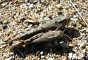 Mating pair of  grasshoppers. - Dissosteira carolina - male - female