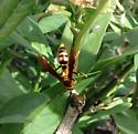 Wasp or Hornet? - Polistes major